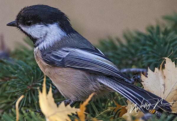 Chickadee_73A9170 - Birds - Walter Nussbaumer Photography