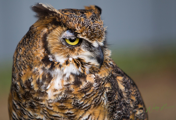 Great Horned Owl_73A1271 - Great Horned Owl - Walter Nussbaumer Photography