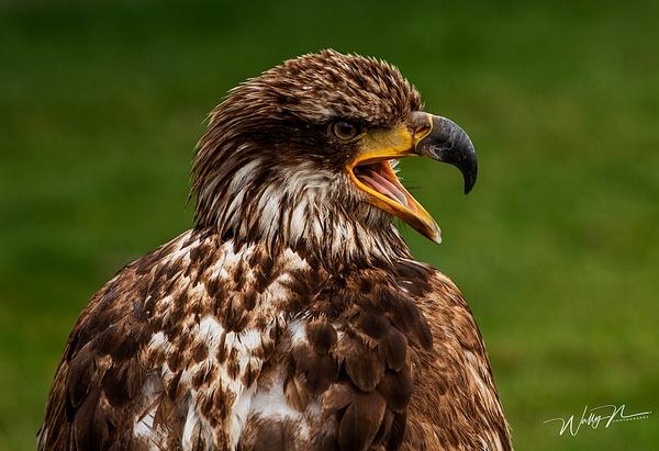 Juvenal Bald Eagle_73A1224 - Raptors - Walter Nussbaumer Photography