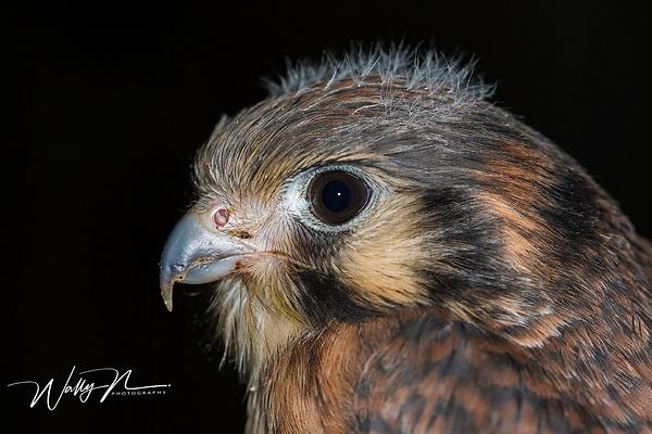 Young Kestrel_73A1288 - Raptors - Walter Nussbaumer Photography