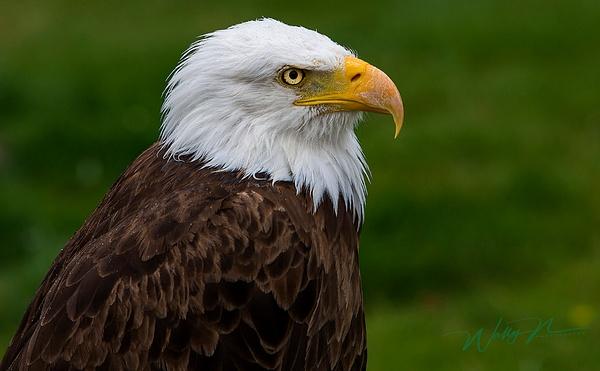 Bald Eagle_73A1200 - Raptors - Walter Nussbaumer Photography