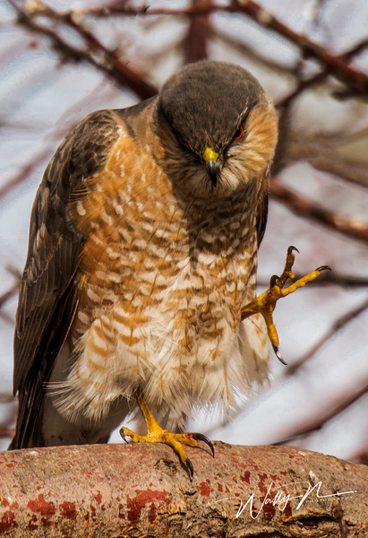 Sharp Shinned Hawk_DSC6709 - Raptors - Walter Nussbaumer Photography