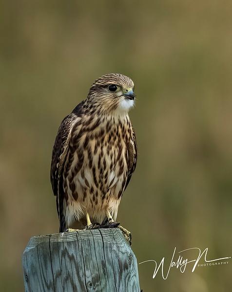 Merlin_0R8A8992 - Raptors - Walter Nussbaumer Photography