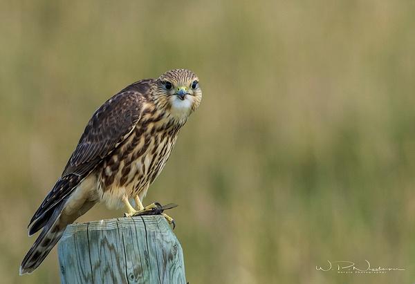 Merlin_0R8A9007 - Raptors - Walter Nussbaumer Photography
