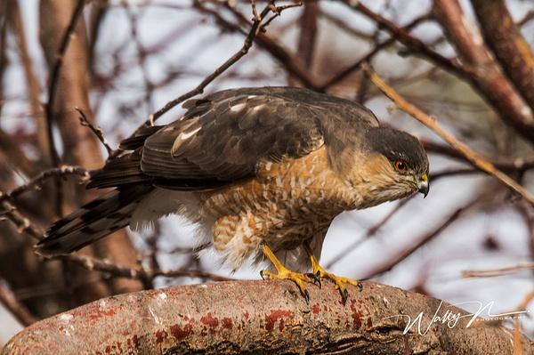 Sharp Shin_DSC6704 - Raptors - Walter Nussbaumer Photography