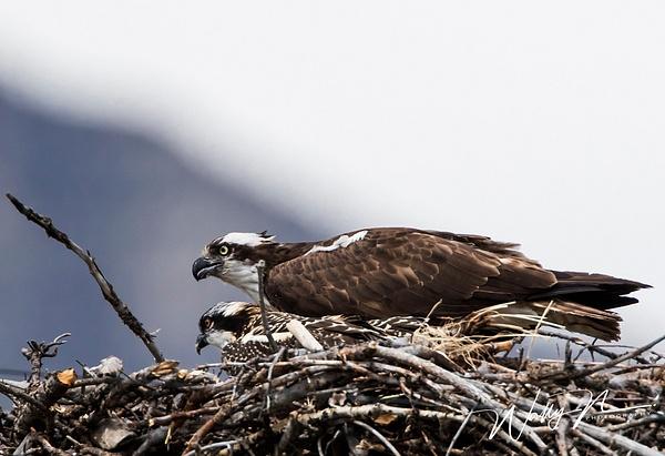 Osprey_0R8A8975 - Raptors - Walter Nussbaumer Photography