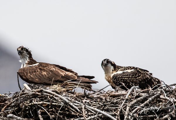 Osprey Ma and Pa_0R8A8962 - Raptors - Walter Nussbaumer Photography