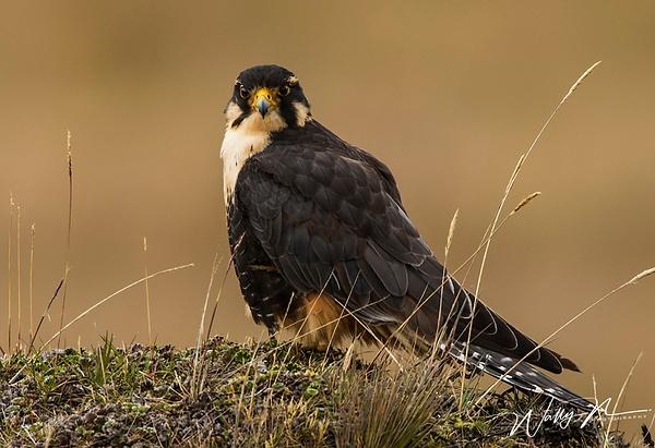 Aplomado Falcon_0R8A9533 - Raptors - Walter Nussbaumer Photography