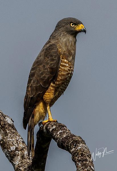 Roadside Hawk_0R8A5576 - Raptors - Walter Nussbaumer Photography