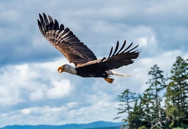 Eagle_DSC3650 - Raptors - Walter Nussbaumer Photography