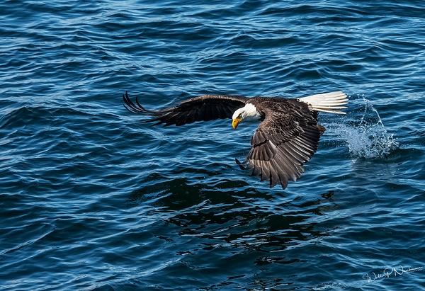 Bald Eagle_DSC3547 - Raptors - Walter Nussbaumer Photography