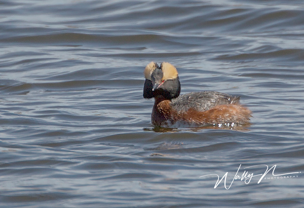 Horned Grebe_073A6624 - Waterfowl - Walter Nussbaumer Photography