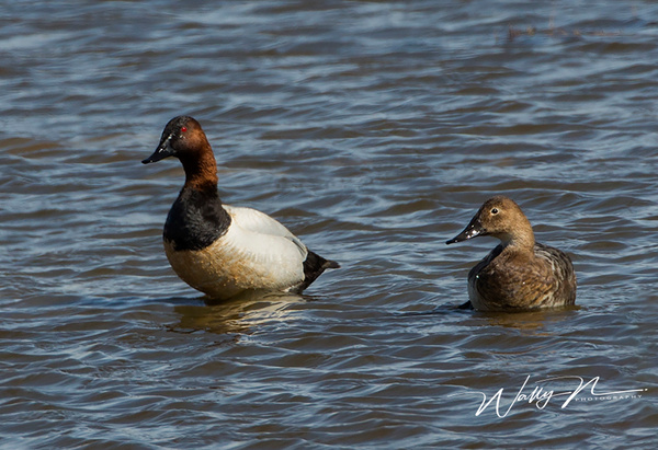 Canvas Back073A6593 - Waterfowl - Walter Nussbaumer Photography