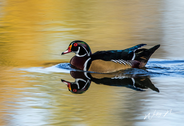Wood Duck_0R8A0010 - Waterfowl - Walter Nussbaumer Photography