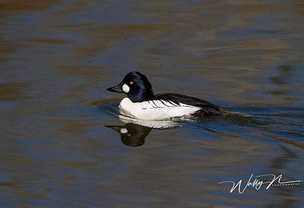 Common Goldeneye_IMG_6653 - Waterfowl - Walter Nussbaumer Photography