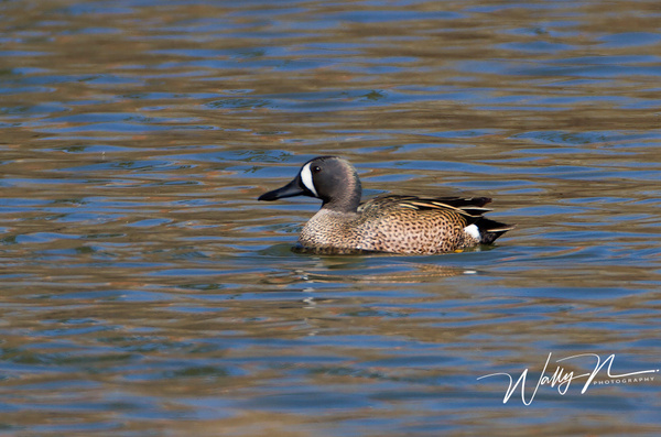 Blue Winged Teal_IMG_6580 - Waterfowl - Walter Nussbaumer Photography