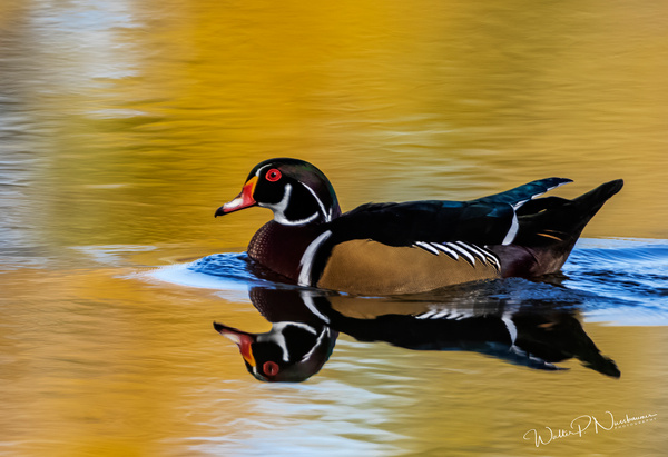 Wood Duck_0R8A0013 - Waterfowl - Walter Nussbaumer Photography