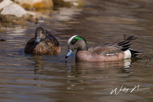 American Wigeon_IMG_6575 - Waterfowl - Walter Nussbaumer Photography