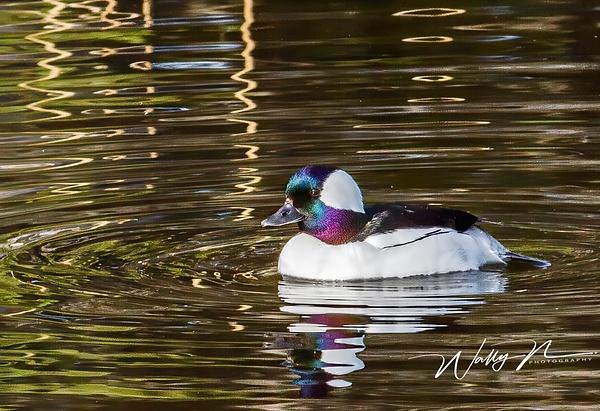 Bufflehead_MG_0525 - Waterfowl - Walter Nussbaumer Photography