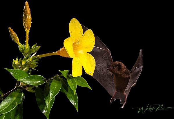 Bat_DSC2847 - Tropical Birds - Walter Nussbaumer Photography