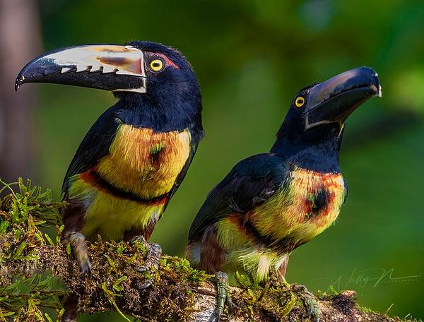Collared Aracari_0R8A5553 - Tropical Birds - Walter Nussbaumer Photography