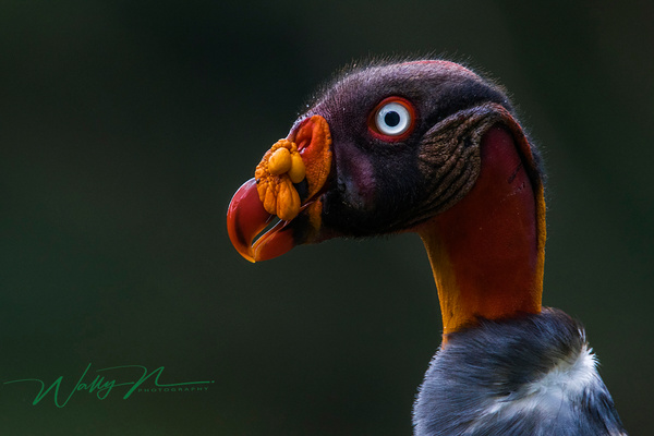 King Vulture_0R8A5673 - Tropical Birds - Walter Nussbaumer Photography