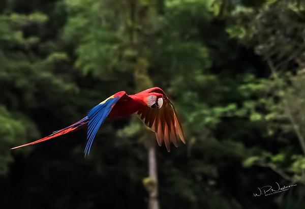 Macaw_DSC3493 - Tropical Birds - Walter Nussbaumer Photography