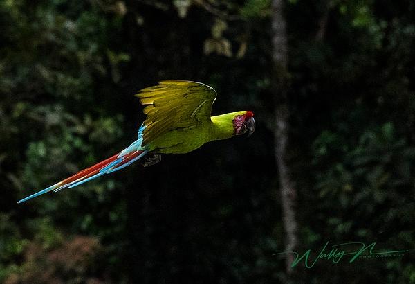 Macaw_DSC3482 - Tropical Birds - Walter Nussbaumer Photography