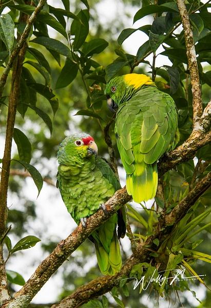 parrots_DSC3260 - Tropical Birds - Walter Nussbaumer Photography