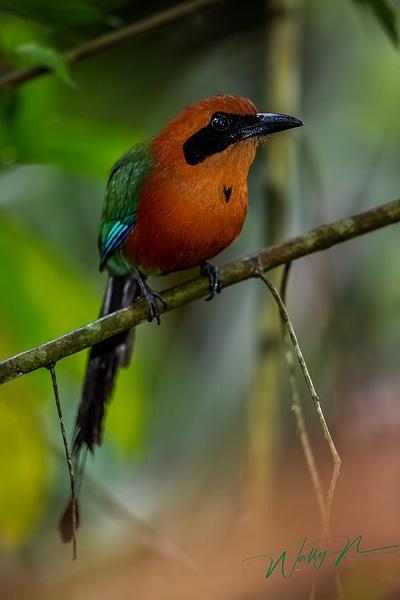 Rufous MotMot_IMG_0008 - Tropical Birds - Walter Nussbaumer Photography