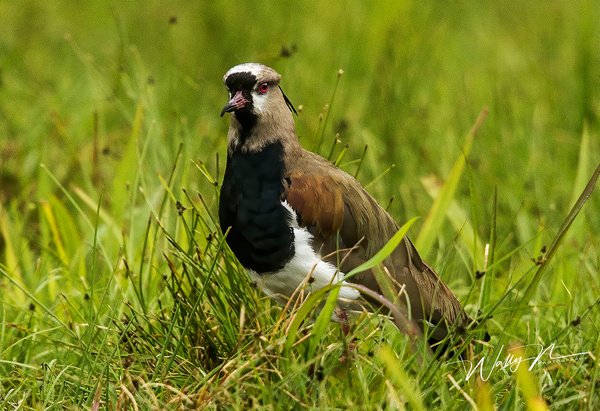 Southern Lapwing_024A0268 - Tropical Birds - Walter Nussbaumer Photography