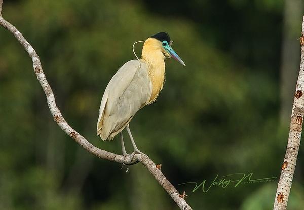 Capped Heron_0R8A2447 - Tropical Birds - Walter Nussbaumer Photography