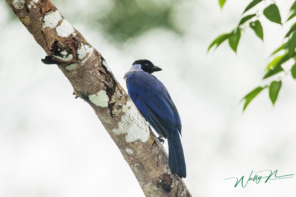 Violaceous Jay_0R8A2393 - Tropical Birds - Walter Nussbaumer Photography