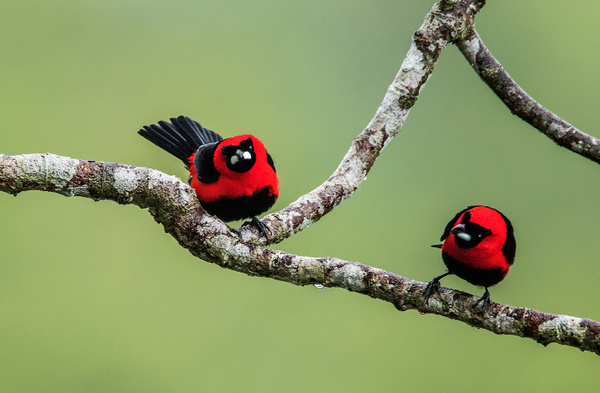 Masked Tanager0R8A2558 - Tropical Birds - Walter Nussbaumer Photography