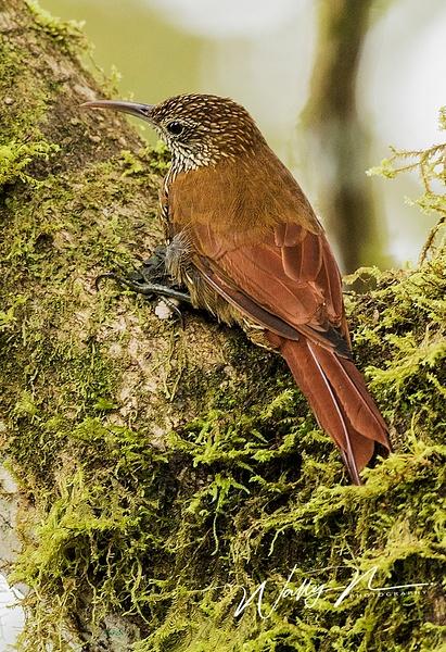 Woodcreeper_0R8A9691 - Tropical Birds - Walter Nussbaumer Photography