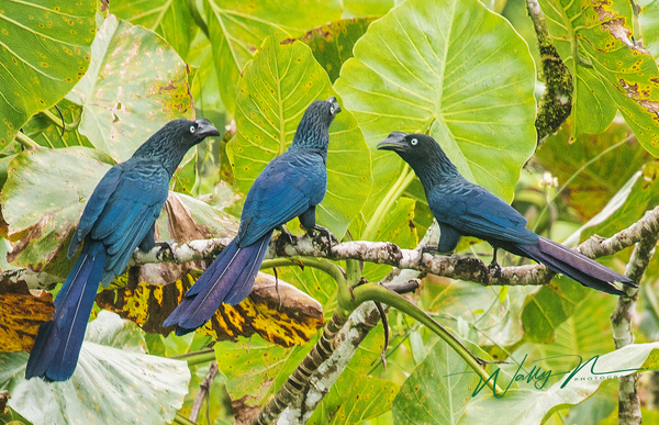 Greater Ani_DSC0623 - Tropical Birds - Walter Nussbaumer Photography