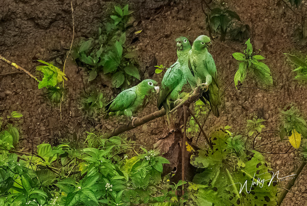 Mealy  Parrots_ppt_0R8A0967 - Tropical Birds - Walter Nussbaumer Photography
