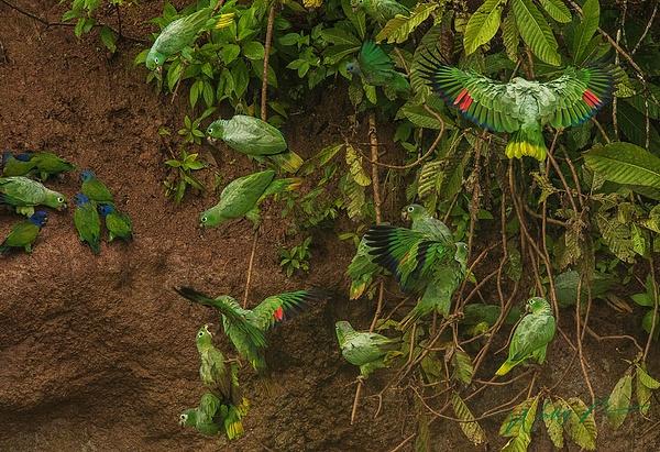 Parrots_0R8A1048 - Tropical Birds - Walter Nussbaumer Photography
