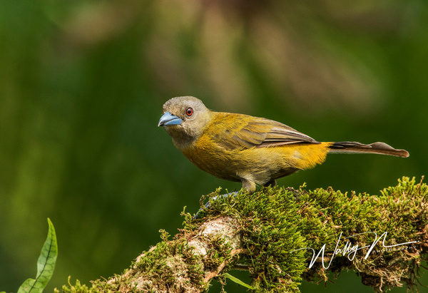 Passerini's Tanager (F)_0R8A5594 - Tropical Birds - Walter Nussbaumer Photography