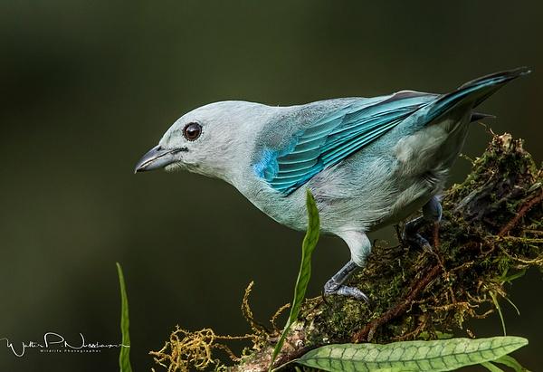 Blue Grey Tanager_0R8A5225 - Tropical Birds - Walter Nussbaumer Photography