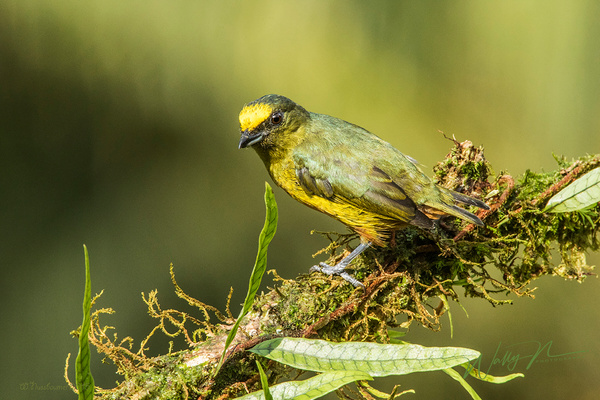 Olive Backed Euphonia_0R8A5152 - Tropical Birds - Walter Nussbaumer Photography