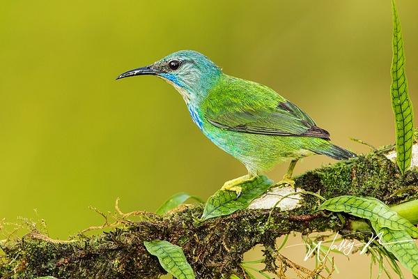 Shining Honeycreeper ( female)_0R8A5293 - Tropical Birds - Walter Nussbaumer Photography