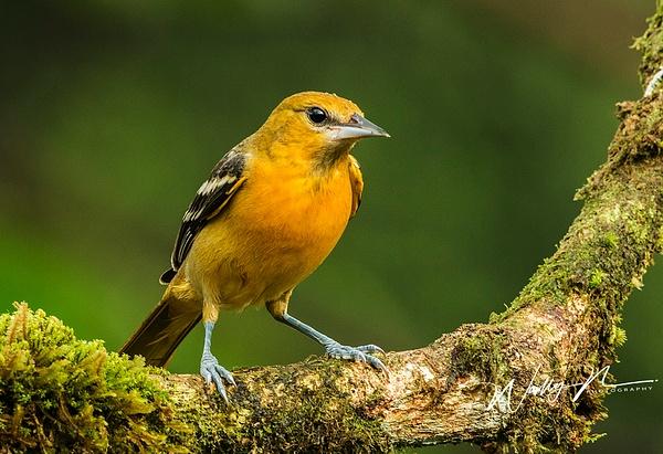 Baltimore Oriole ( Female)_0R8A5481 - Tropical Birds - Walter Nussbaumer Photography