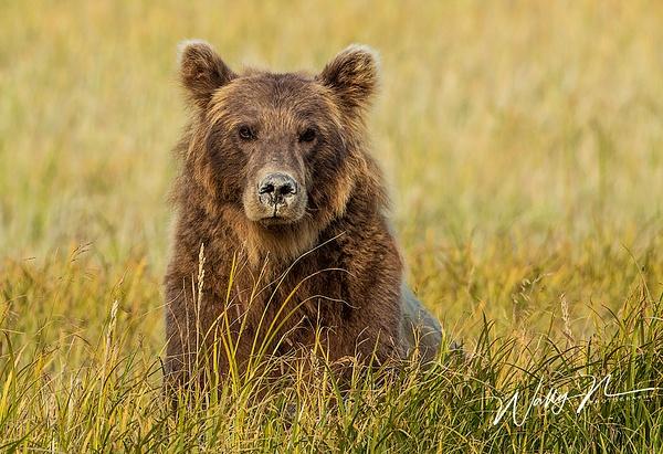 Alaskan Brown Bear_73A9970 - Bears - Walter Nussbaumer Photography