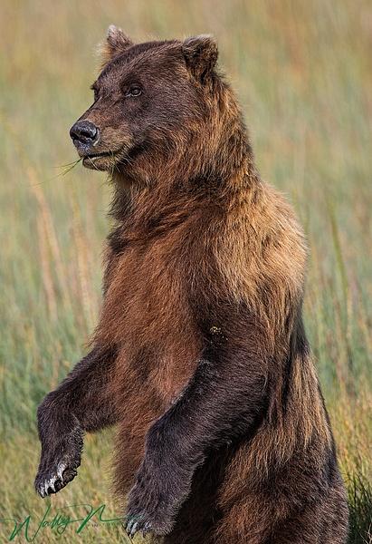 Brown Bear_73A8932 - Bears - Walter Nussbaumer Photography