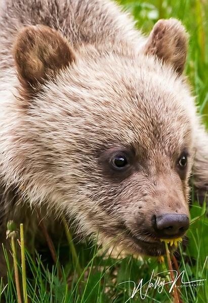 Grizzly Bear Cub_R8A0029 - Bears - Walter Nussbaumer Photography