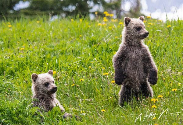 Grizzly Bear Cubs_DSC_1403 - Bears - Walter Nussbaumer Photography