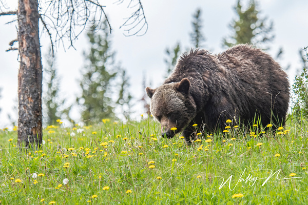 Grizzly Bear_DSC_1327 - Bears - Walter Nussbaumer Photography