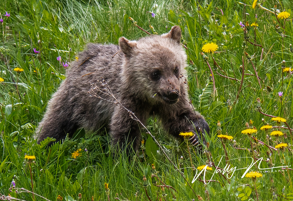 Grizzly Cub_DSC_1612 - Bears - Walter Nussbaumer Photography