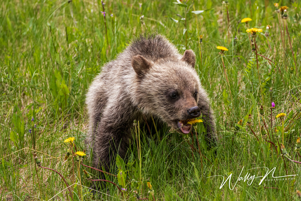 Grizzly Cub_R8A0028 - Bears - Walter Nussbaumer Photography